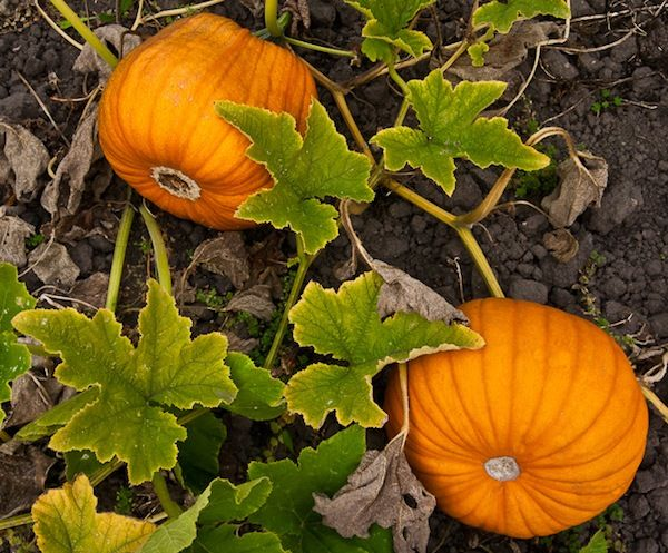 Growing Pumpkins: 7 Tips and Tricks