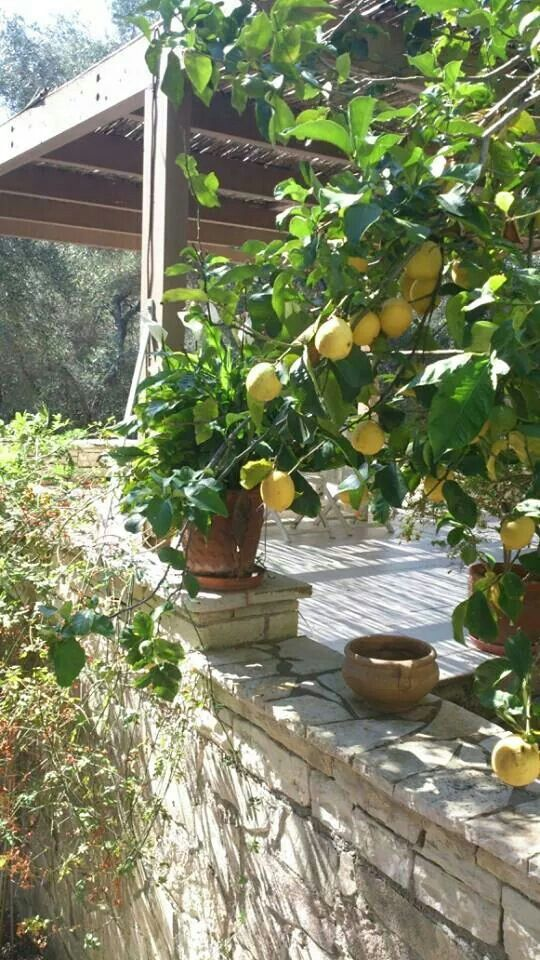 My friend's lemon tree