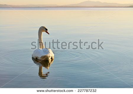 Lonely swan on lake at sunset at sunset - stock photo