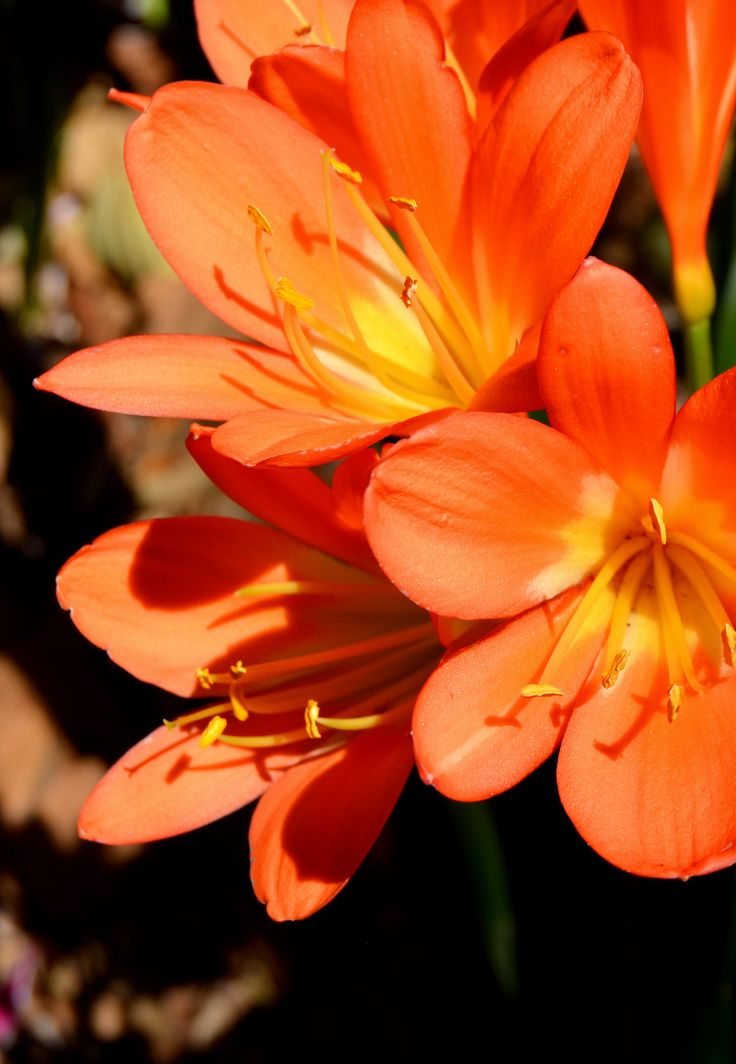 Clivia in full bloom, each petal a perfect flower. #orange by Rosemary Hall