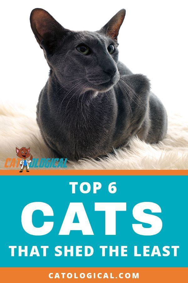 Top 6 Cat Breeds That Don T Shed That Much Is There Such A Cat Cat Breeds Kitten Breeds Cat Parenting