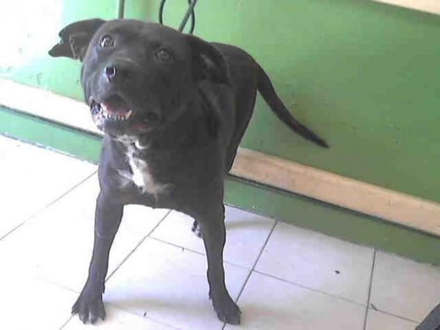***URGENT! 10/7/16 BLACKY - L.A. COUNTY ANIMAL CARE CONTROL: CARSON SHELTER in Gardena, CA - Young Male Pit Bull Terrier