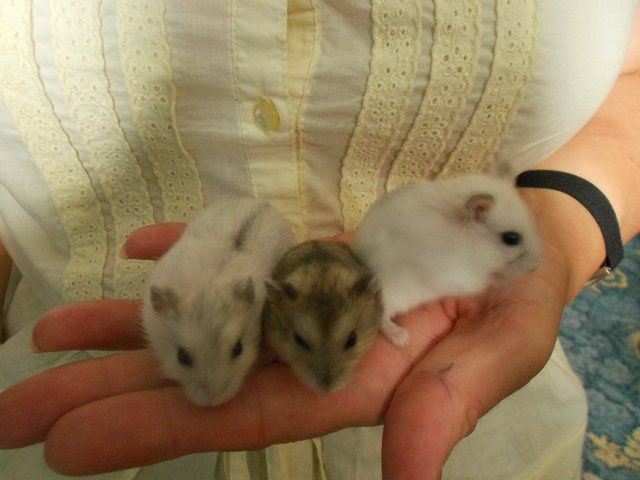 winter white dwarf hamster babies for sale