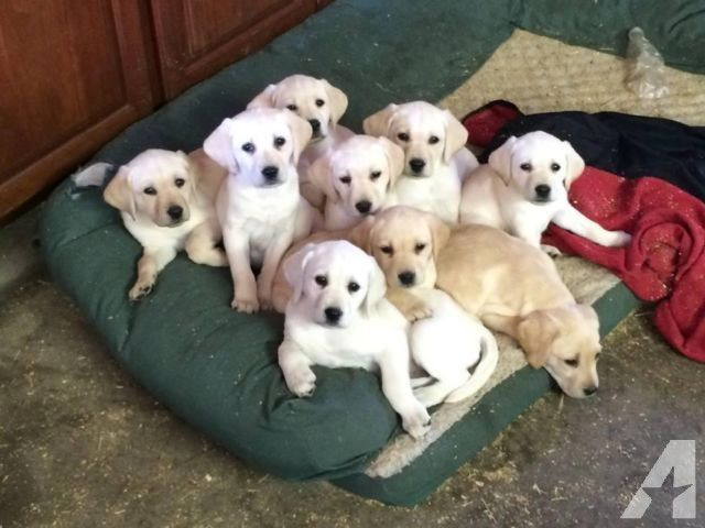 Labrador Retrievers White And Tan Akc Full Registration For Goldador Puppy For Sale Near Portland Oregon B50aa5bb A In 2020 Labrador Retriever Labrador Labrador Funny