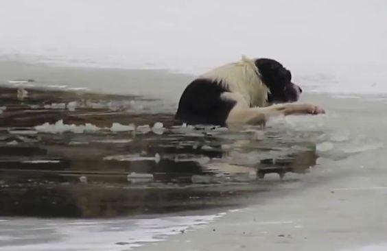 No todos los héores usan capa, como demuestra este hombre de la ciudad rusa de Kostroma, que arriesgó su vida al entrarmedio desnudo a un estanque congelado para rescatar a este pobre perro que e…