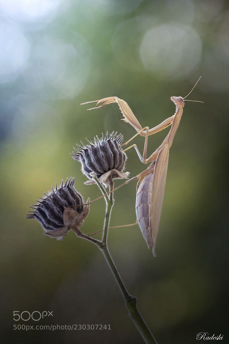 La danza della mantide (Roberto Aldrovandi / Reggio Emilia / Italia) #nikon D850 #macro #photo #insect #nature