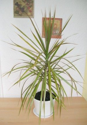 Dracaena Plant Care – Tips For Growing A Dracaena Plant Indoors