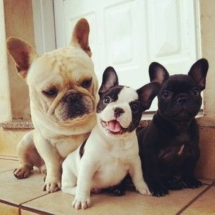 50 Adorable Reasons That 2013 Was The Year Of The FrenchBulldog