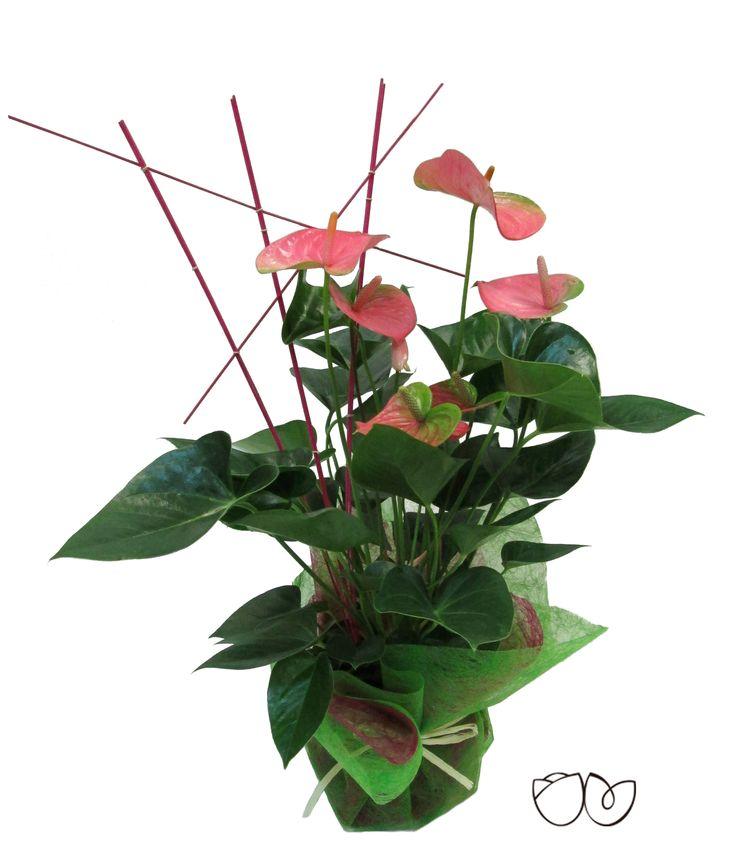*Planta Anthurium* Un regalo que encantará por su elegancia y viveza y que además serádelarga duración.