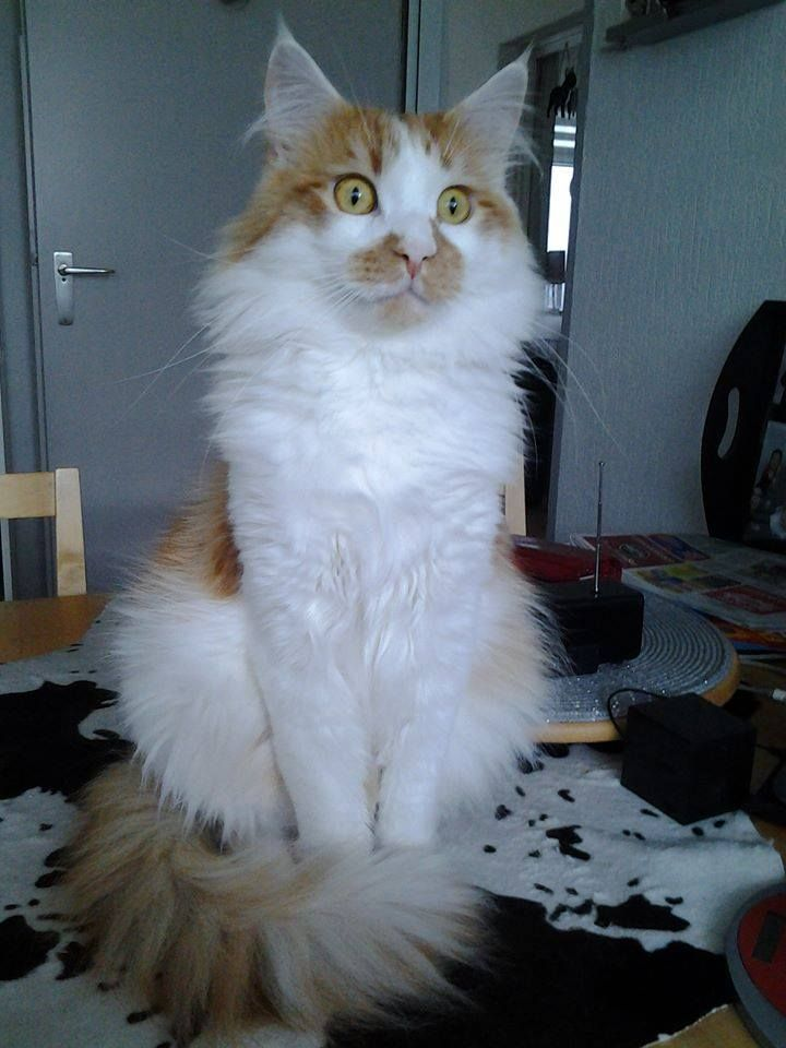 Maine Coon, Red Solid & White (d 09). Sweet Rialto's I'm Boy Wonder
