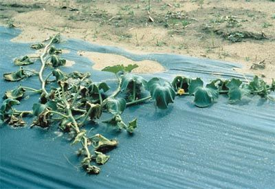 vascular wilt disease: a xylem disease that disrupts normal uptake of water and minerals, resulting in wilting and yellowing of foliage (bacterial wilt disease of melon caused by Erwinia tracheiphila)