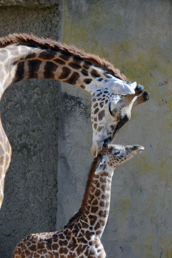 Una giraffa col suo cucciolo appena nato allo zoo di Santa Barbara, California (AP Photo/Santa Barbara Zoo, Sheri Horiszny) - Il Post
