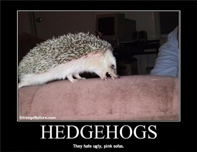 26 Best Images About Hedgehogs On Pinterest Funny Images
