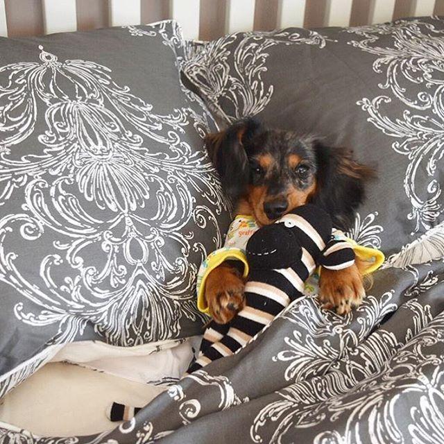 Goodnight Instagram. 😴🐾 #SleepySausage #SweetDreams #SausageDogCentral @pebbles.the.dachshund