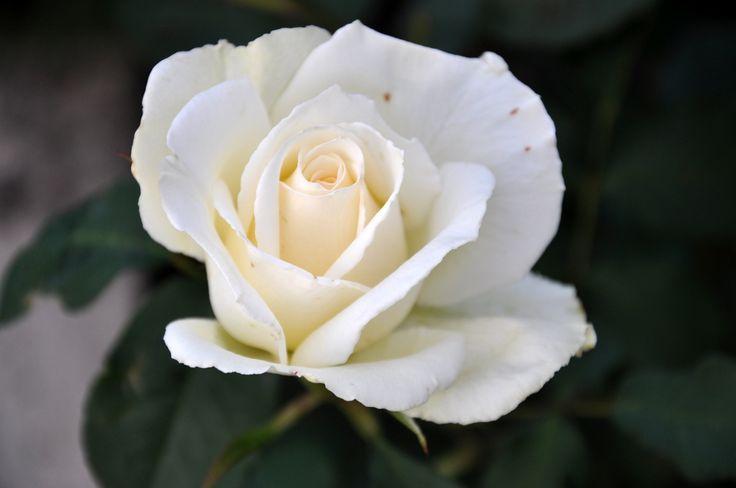 RS rose