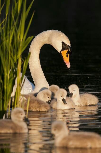 Swan with cygnets (Cygnus olor). #Birds #UK