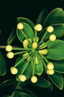 La disposición en forma de roseta de flores y hojas coriáceas es una estrategia que adoptan las plantas en los tepuyes para sobrevivir.