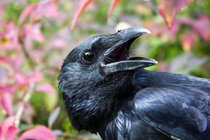 Crows are no bird-brains: Neurobiologists investigate neuronal basis of crows' intelligence