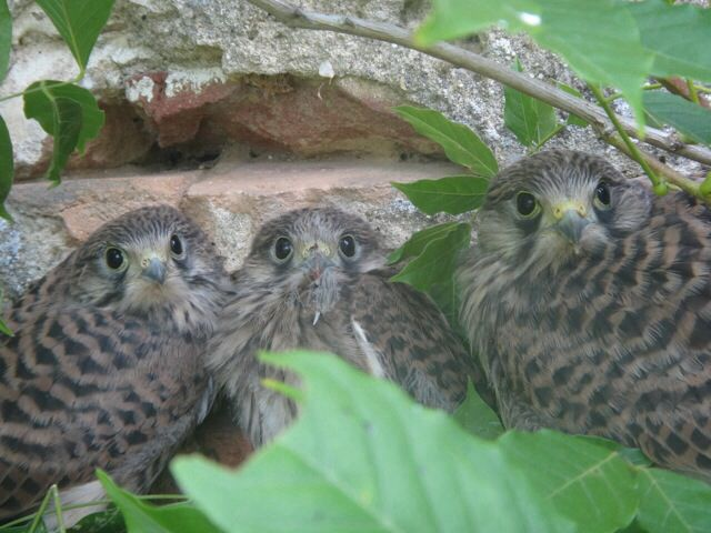 Not bovine, but kestrel chicks that fell out or were pushed. I reckon that the oldest chick, far right, pushed the other two and then got lonely and jumped out too. They all survived.