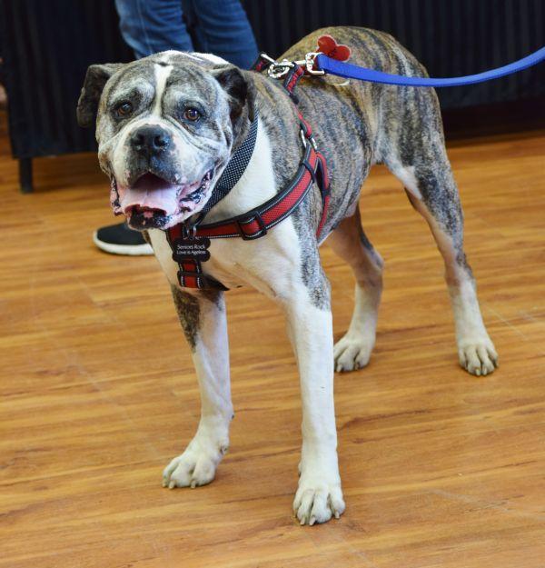 Thor Adoptable Dog Senior Male American Bulldog Boxer Mix