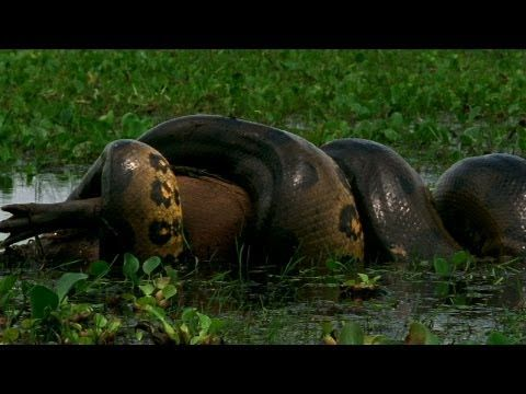 Anaconda Devours World's Largest Rodent - YouTube he green anaconda can grow up to 20 feet long and weigh a whopping 200 pounds. That's a big body to feed. And the world's largest rodent, the capybara, is the perfect entree.