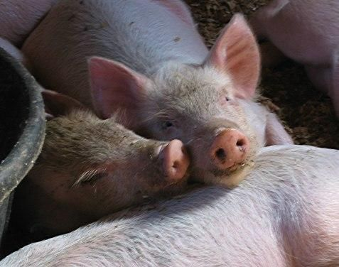 All the Right Reasons to Raise Pigs