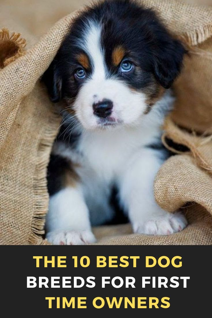 The 10 Best Dog Breeds For First Time Owners Dog Dogsofinstagram Dogs Puppy Love Cute Dogstagram Pet In Best Dog Breeds Dog Breeds Medium Dog Breeds