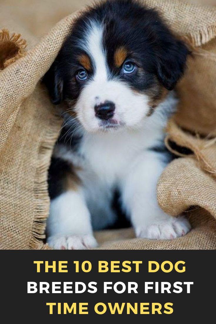 Bernese Mountain Dog Puppy Lincoln 16 Weeks Old Welpen Sennenhund Hunde