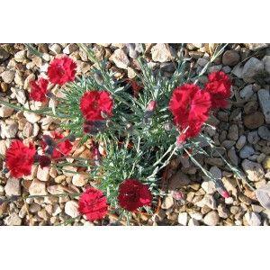 """Dianthus """"Nain Anglais rouge"""" - Pépinières Quissac"""