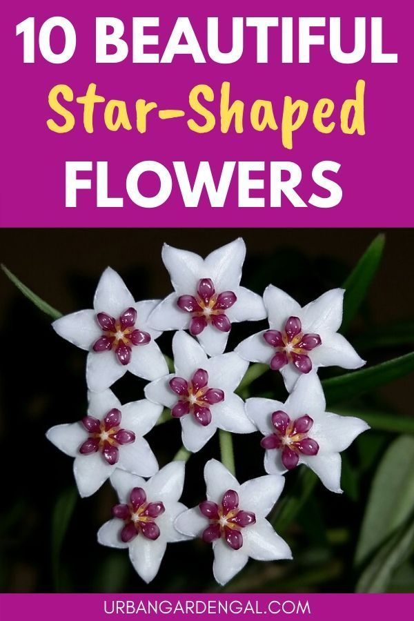 10 Beautiful Star Shaped Flowers In 2020 Star Shape Flowers Perennials Flowers