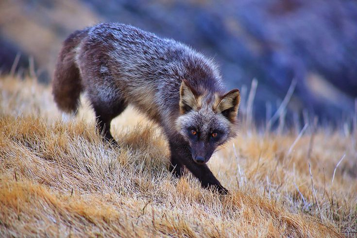 We know how much you guys love foxes, so we thought we'd introduce you some of the most beautiful and striking types of foxes out there so you'd know which type is your favorite! This diverse and adaptive genus has species all over the world, all of which are especially adapted to thrive in their environments.