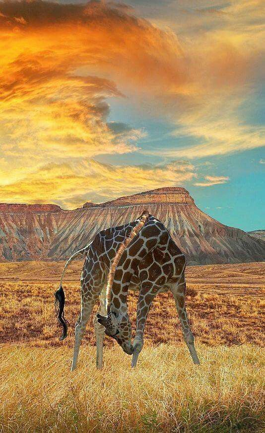 A fantastic blending and balance of colors and elements with giraffe, grass, dirt, & mountains.