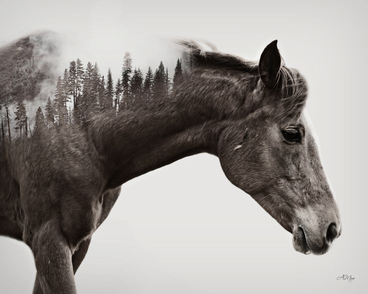 The subtly of the use of double exposure in this image is easily the most admirable element of this image. The immersion of the forest into the back of the horse rather than its mane is simply stunning, whilst the fog softens the sharp edge of the pine trees.