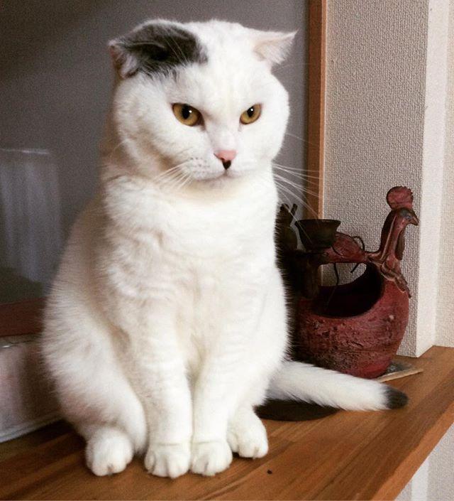 カウンターの小町 #スコティッシュフォールド#立ち耳スコ #折れ耳スコ #猫のいる暮らし#愛猫#にゃんすたグラム #猫大好き #猫ちゃん #インスタキャット #仲良し#ハチワレ#廊下#まったり#にゃあ〜#しっぽ#ふわふわ#モフモフ#友達#ニャルソック#猫背#ごろん#洗濯物#きりりとした目#スコ座り#重い#エジプトキャット#猫の置き物#はるのあし#被り物#うさちゃん