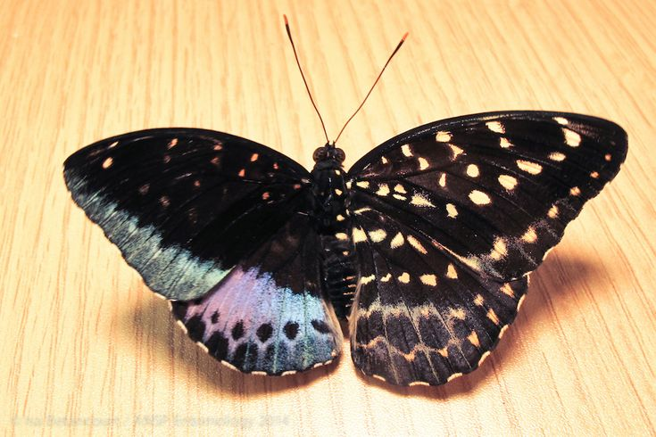 An unusual butterfly that is half male and half female recently caught the eyes of a volunteer at a butterfly exhibit at Drexel University in Philadelphia.