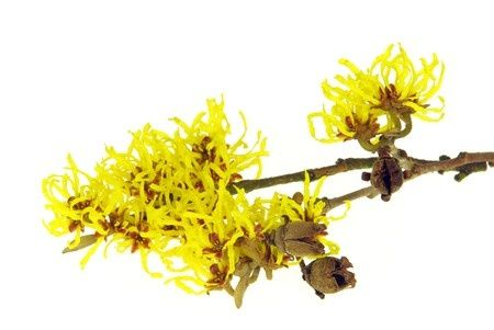 Witch Hazel Herpes Treatment – Natural Remedies
