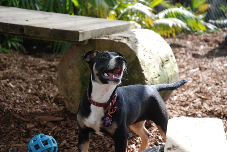 Ruby is a 7mnth old Staffy, foxy x. She is a fun loving girl who would love to play fetch or frisbe. She will me a small to medium dog, good all round with dogs, people and cats.