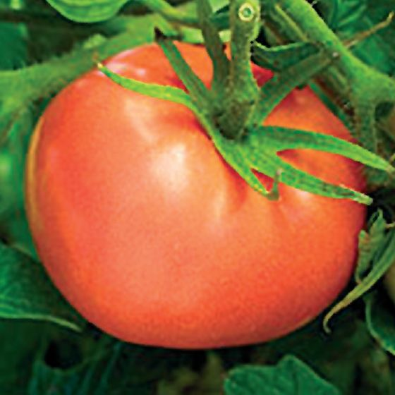 Peron Sprayless Tomato