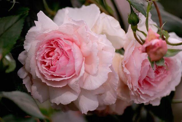 Nel mondo di Pimpinella: Le rose antiche profumate di David Austin