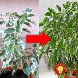 Zahradnice mi dala neuvěřitelně účinný trik, kterým můžete zachránit i vaše izbovky: Mně to velmi pomohlo!