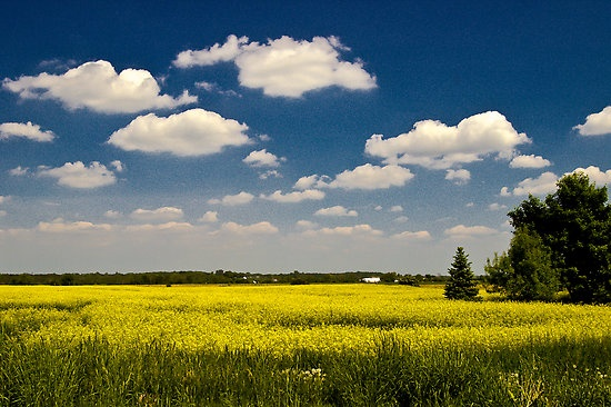 Canada - Canola field on a perfect summer day, Avening, Ontario