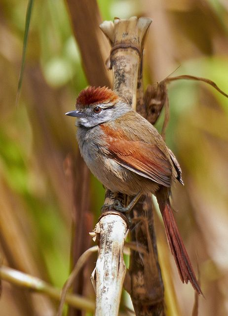 The Sooty Fronted Spinetail (Synallaxis frontalis) is a species of bird in the Furnariidae family. It is found in Argentina, Bolivia, Brazil, Paraguay, and Uruguay.
