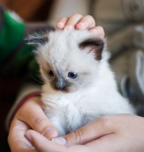 Ragdoll cat. Possibly the cutest thing ive ever seen. ever.