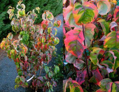 668 best deciduous delights images on pinterest shrubs - Cornus florida rainbow ...