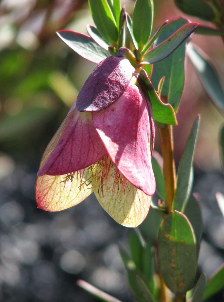 Qualup Bell (Pimelea physodes). Found in Western Australia and little in known about this pretty plant.