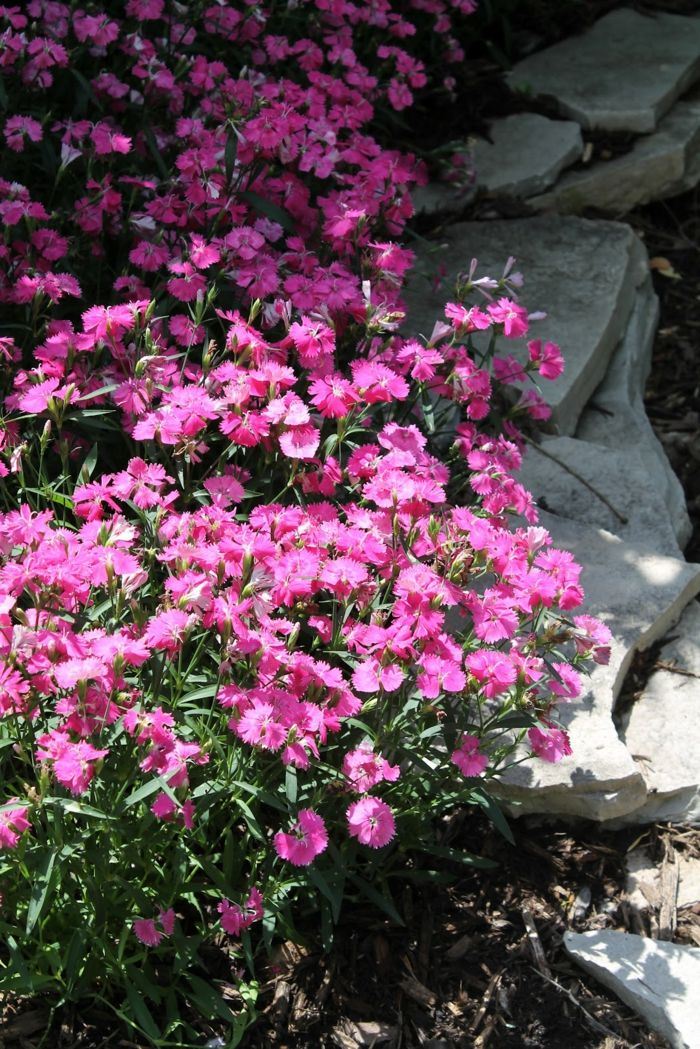 garten verschönern Heidenelke gartenpflanzen bodendeckende pflanzen