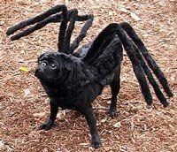 Spider Dog Costume Perfect for my little black dog Mercury!!