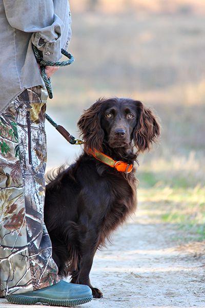 Boykin Spaniel Dog photo contest, Dogs, Best dog photos