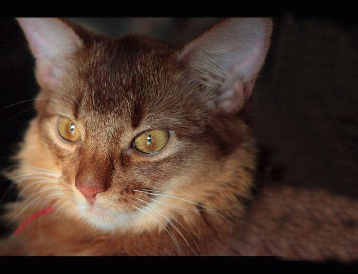 Με ρiζες στην αρχαiα Αiγυπτο, μια γατα πανεξυπνη και παιχνιδιαρα που θελει να τα ξερει ολα! Οι Αβησσυνίας είναι εξωστρεφής και ευφυή γάτες. Δεν αφήνου...