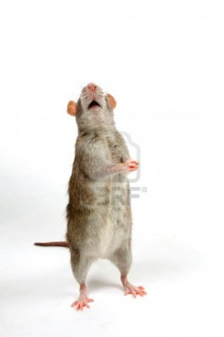 brown rat is begging in front of a white background